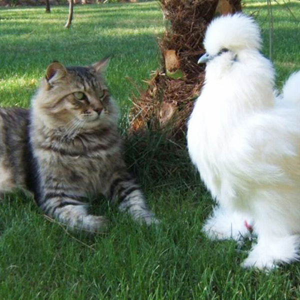 Feather Tips - Hens and Cats