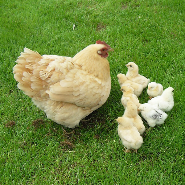 Feather Tips - Broody Hen
